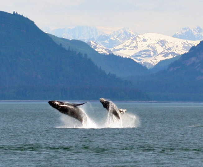Two humpbacks in the waters of Glacier Bay National Park.